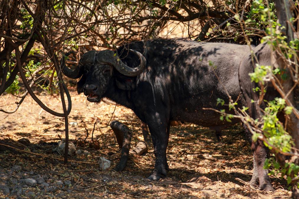 Buffle d'Afrique (Syncerus caffer) au Botswana
