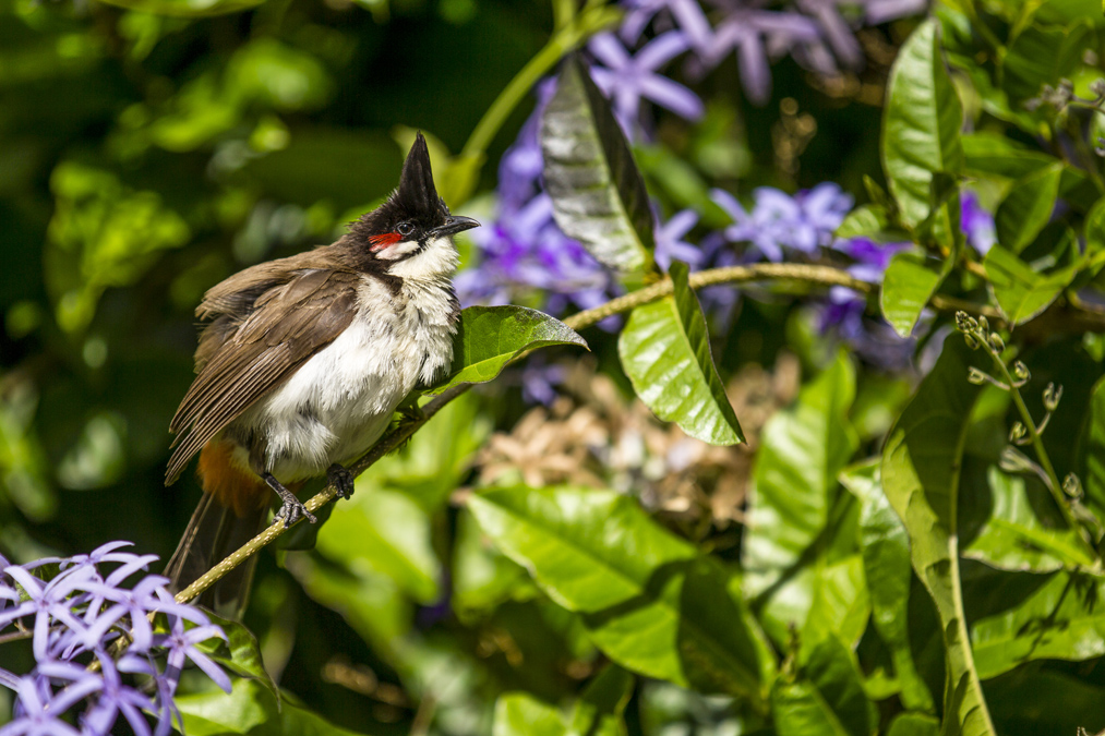 Bulbul orphée (Pycnonotus jocosus) à Maurice