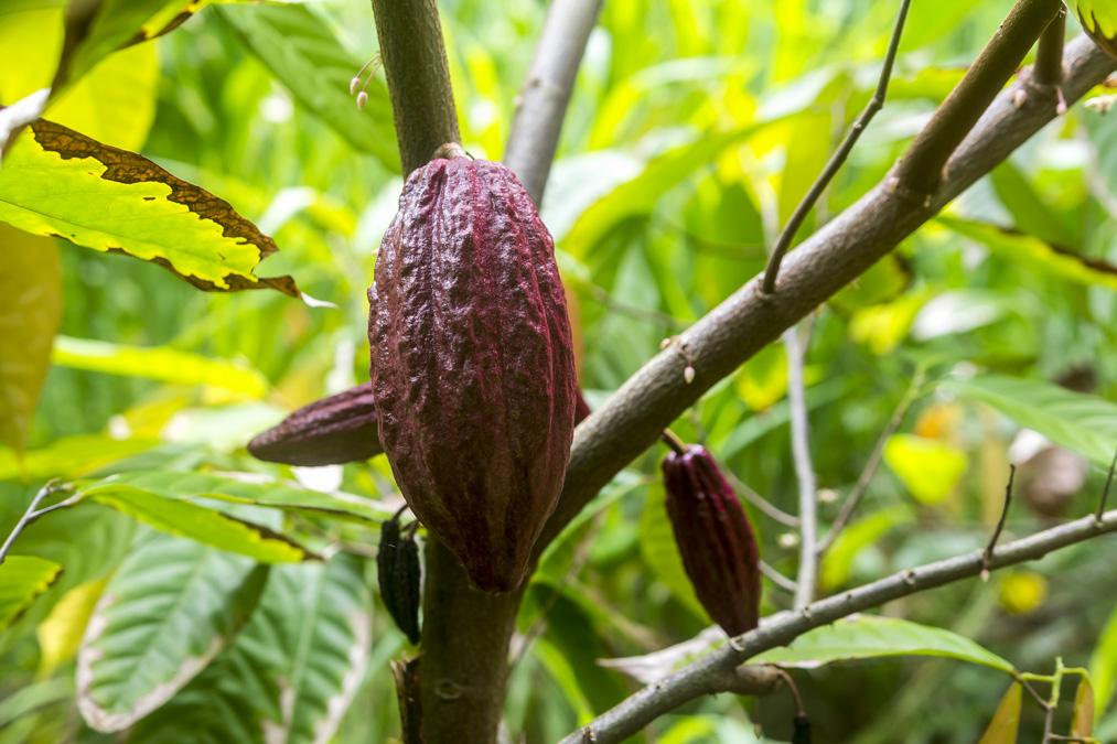 Cabosse de cacao sur un cacaoyer (Theobroma cacao) de la Dominique