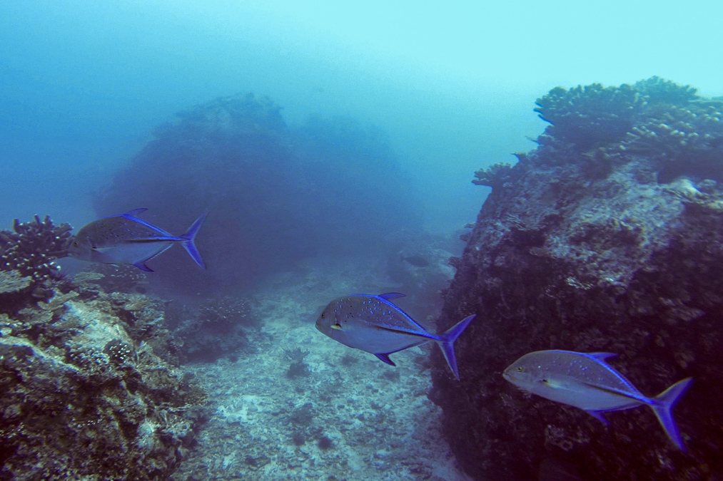 Carangue bleue (Caranx melampygus) aux Seychelles