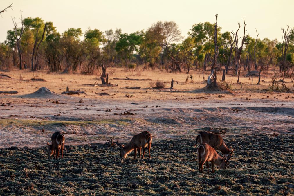 Cobe à croissant (Kobus ellipsiprymnus) au Zimbabwe