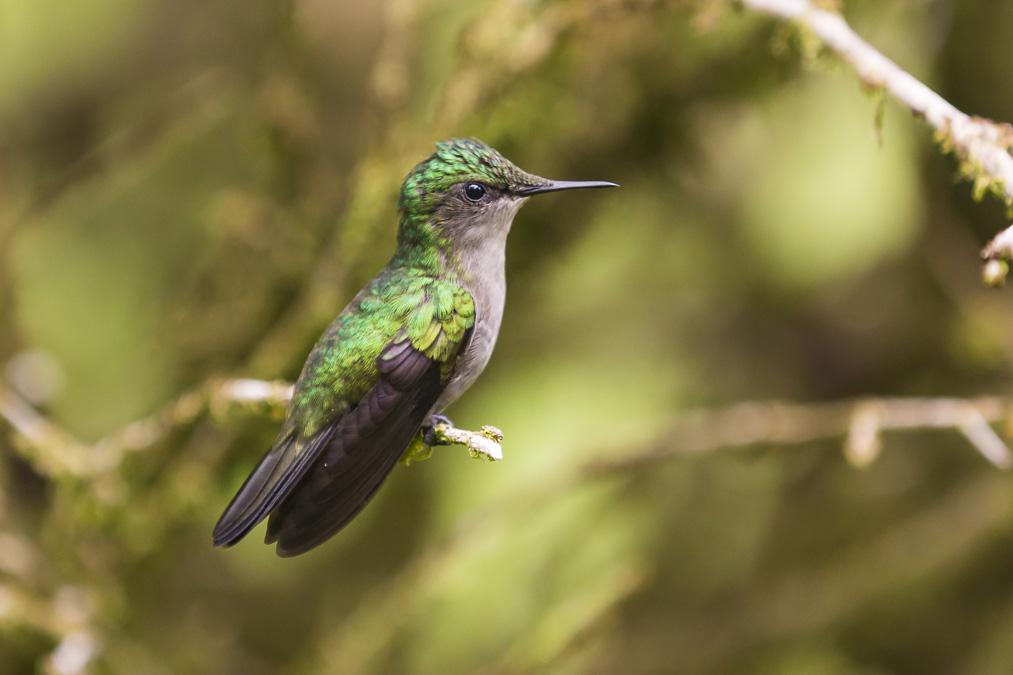 Colibri huppé (Orthorhyncus cristatus) en Martinique
