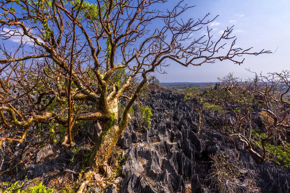 Arbre vazaha (Commiphora apprevalii) à Madagascar