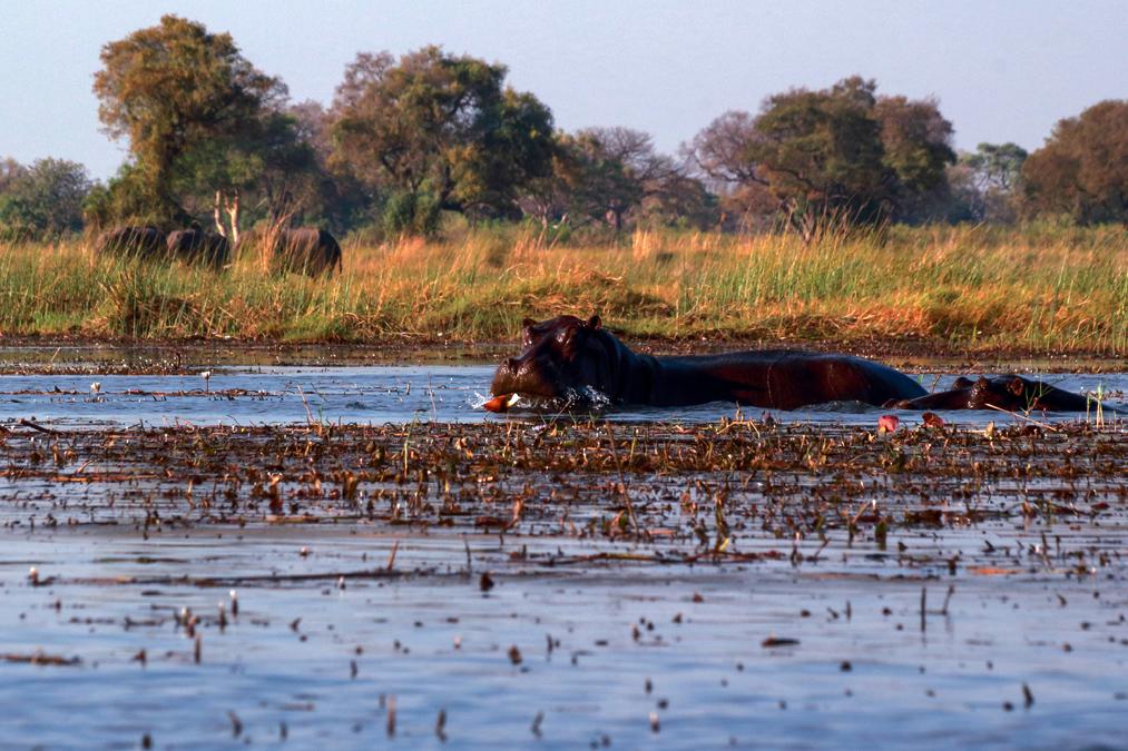 Hippopotame commun (Hippopotamus amphibius) au Botswana