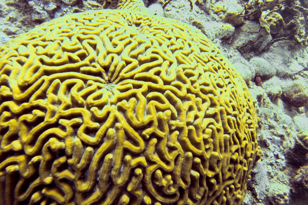 Corail-cerveau de Neptune (Diploria labyrinthiformis) de la Dominique