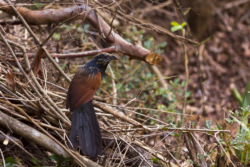 Coucal toulou (Centropus toulou) à Madagascar
