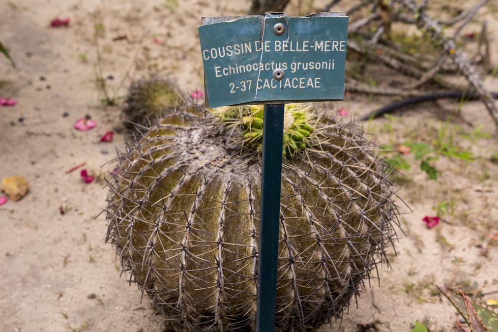 Coussin de belle-mère (Echinocactus grusonii) à la Réunion