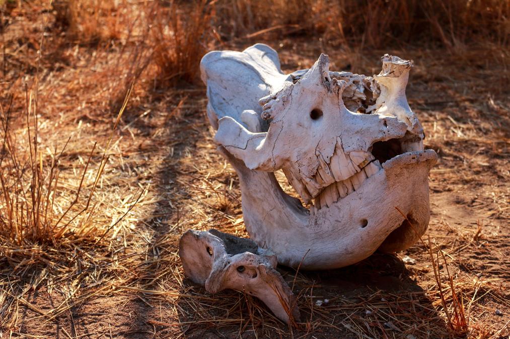 Crâne de rhinocéros au Zimbabwe