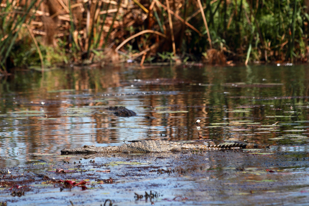 Crocodile du Nil (Crocodylus niloticus) au Botswana
