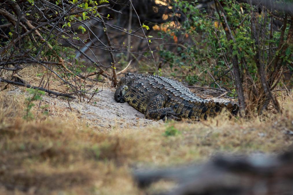 Crocodile du Nil (Crocodylus niloticus) au Zimbabwe