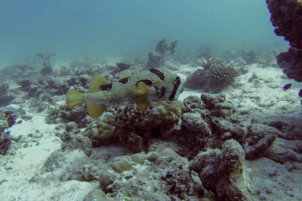 Poisson porc-épic à taches auréolées (Diodon liturosus) aux Seychelles