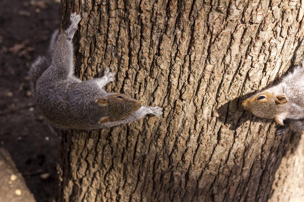 Écureuil gris (Sciurus carolinensis) à New York