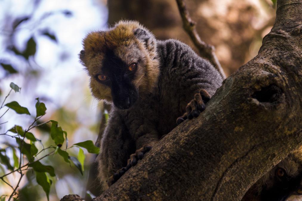Lémur fauve (Eulemur fulvus) à Madagascar