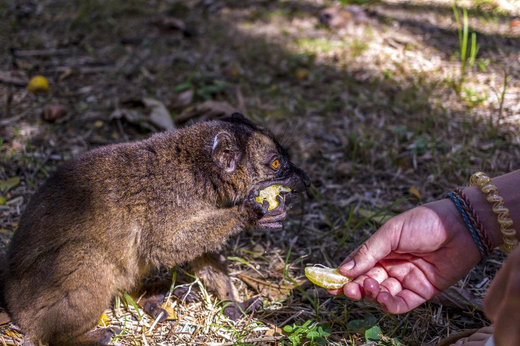 Maki de Mayotte (Eulemur fulvus mayottensis) à Mayotte