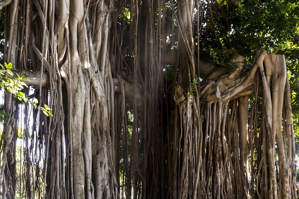 Figuier des banians (Ficus benghalensis) de la Dominique