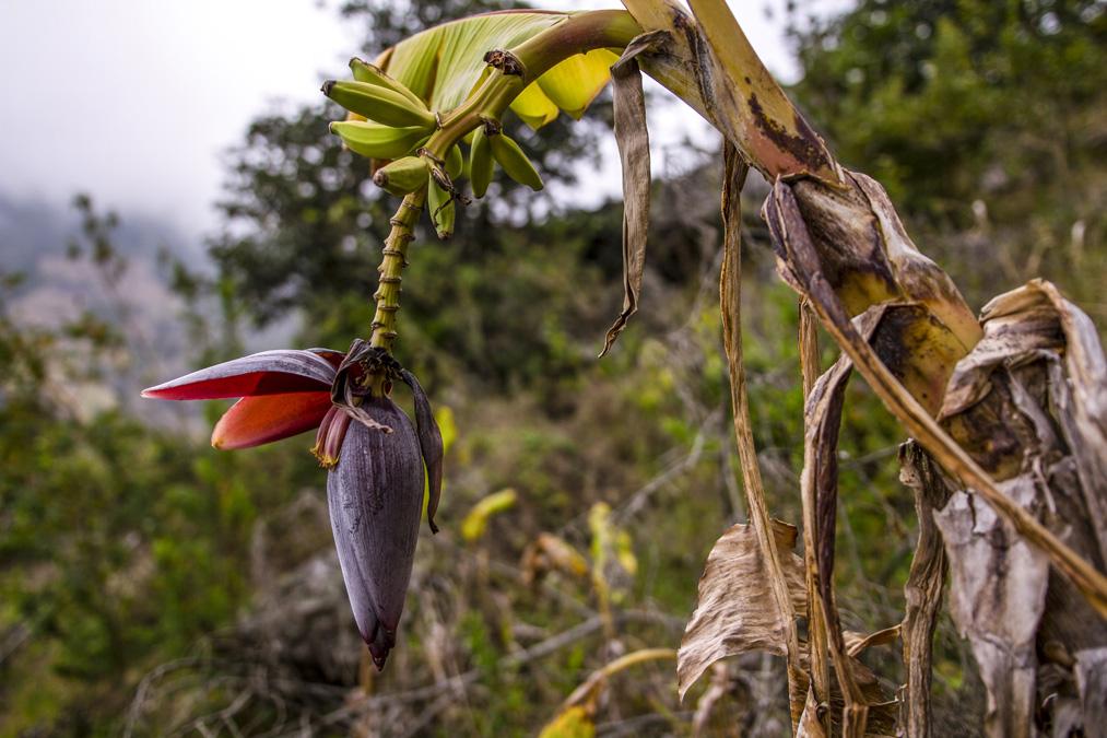 Babafigue ou fleur de bananier à la Réunion