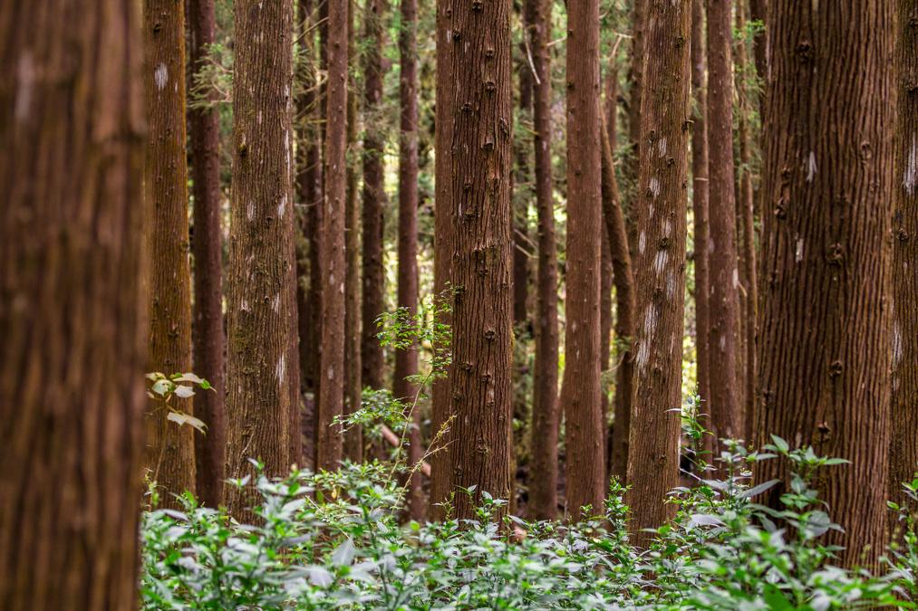 Forêt de cryptomerias à la Réunion