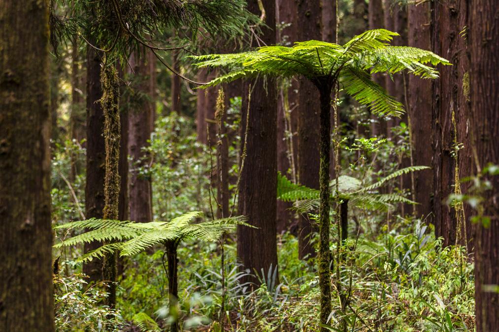 Fougères arborescentes (Cyatheales) à la Réunion