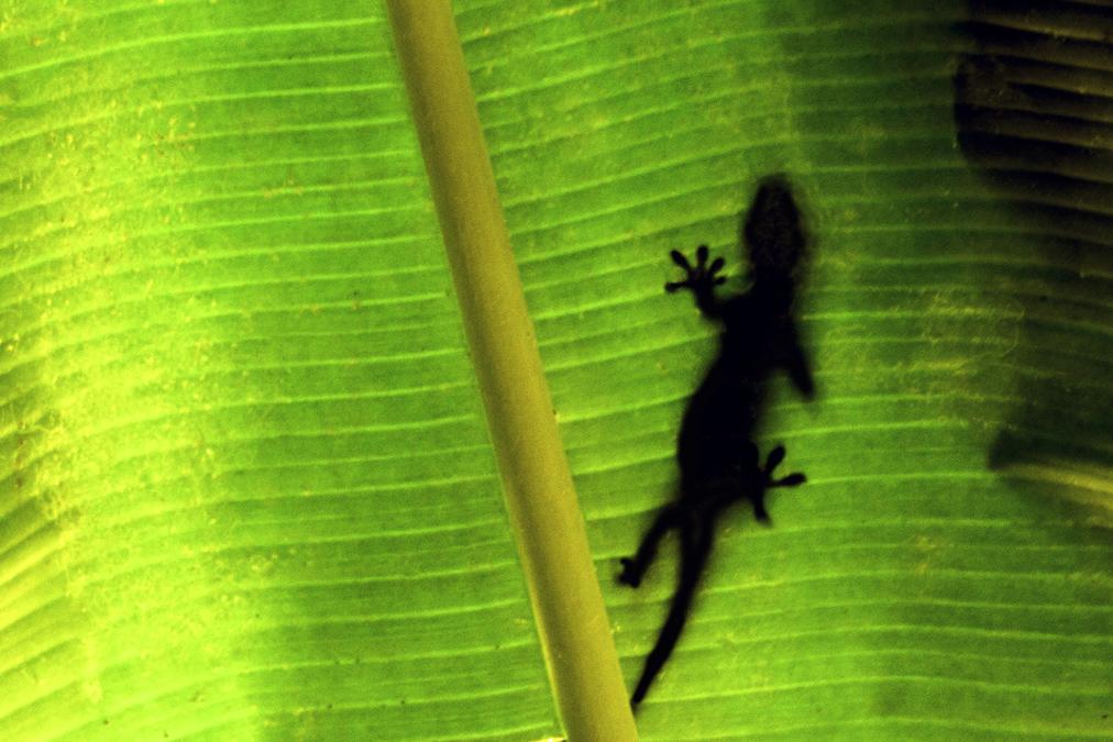 Seychelles day gecko (Phelsuma astriata) aux Seychelles
