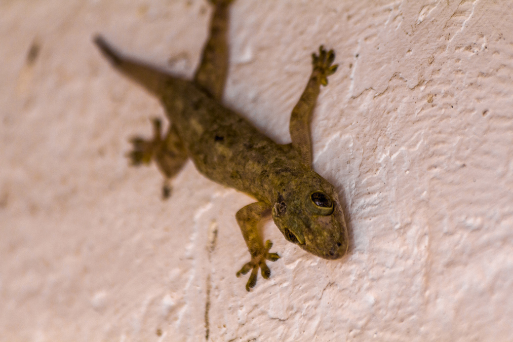 Tjictjac (Hemidactylus frenatus) à Mayotte