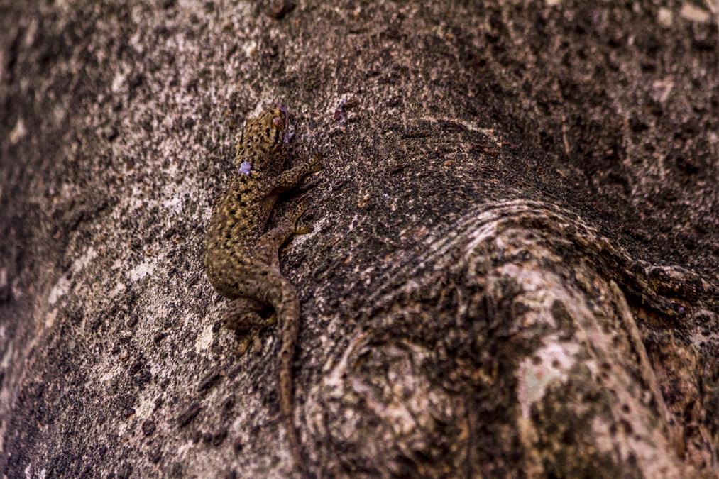 Seychelles bronze gecko (Ailuronyx seychellensis) aux Seychelles