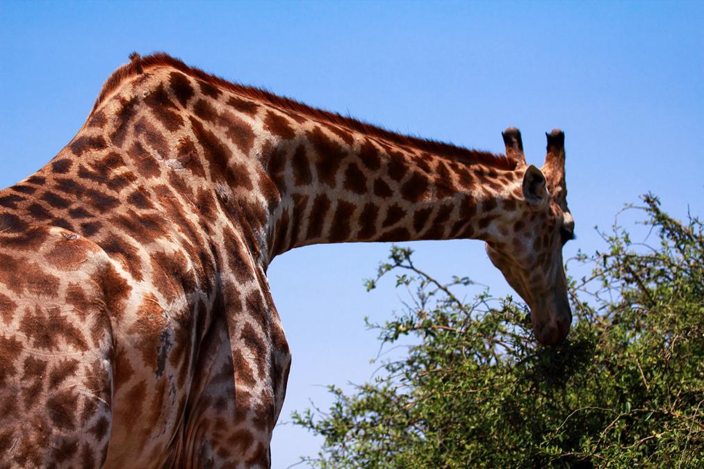 Girafe d'Angola (Giraffa camelopardalis angolensis)
