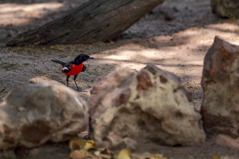 Gonolek rouge et noir (Laniarius atrococcineus) au Botswana