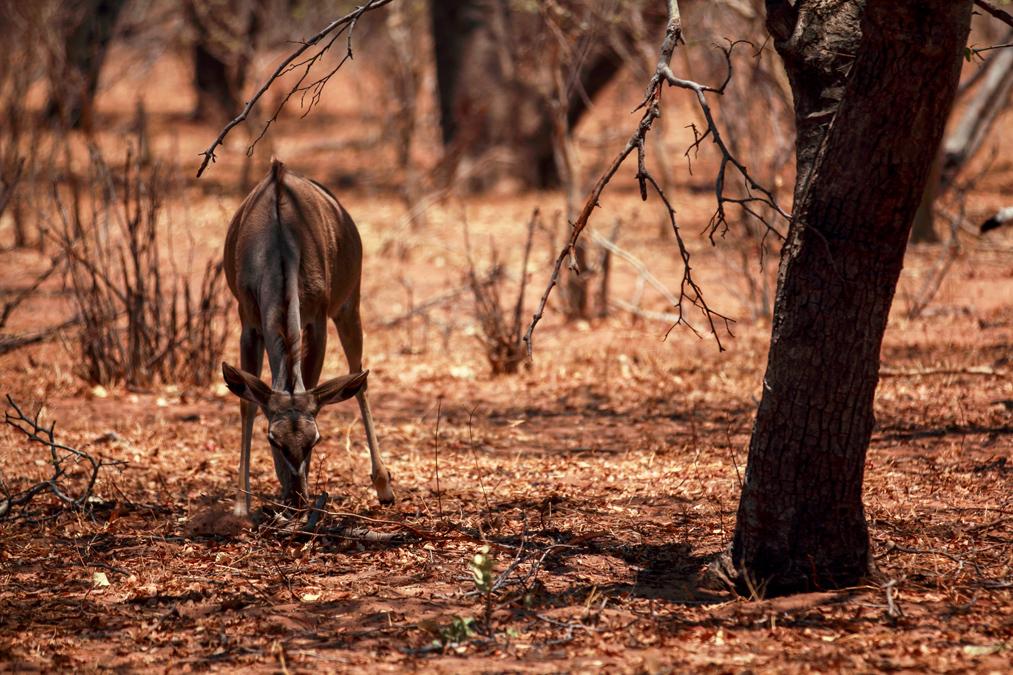 Grand koudou (Tragelaphus strepsiceros) au Botswana