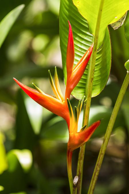 Bec de perroquet (Heliconia psittacorum) en Martinique
