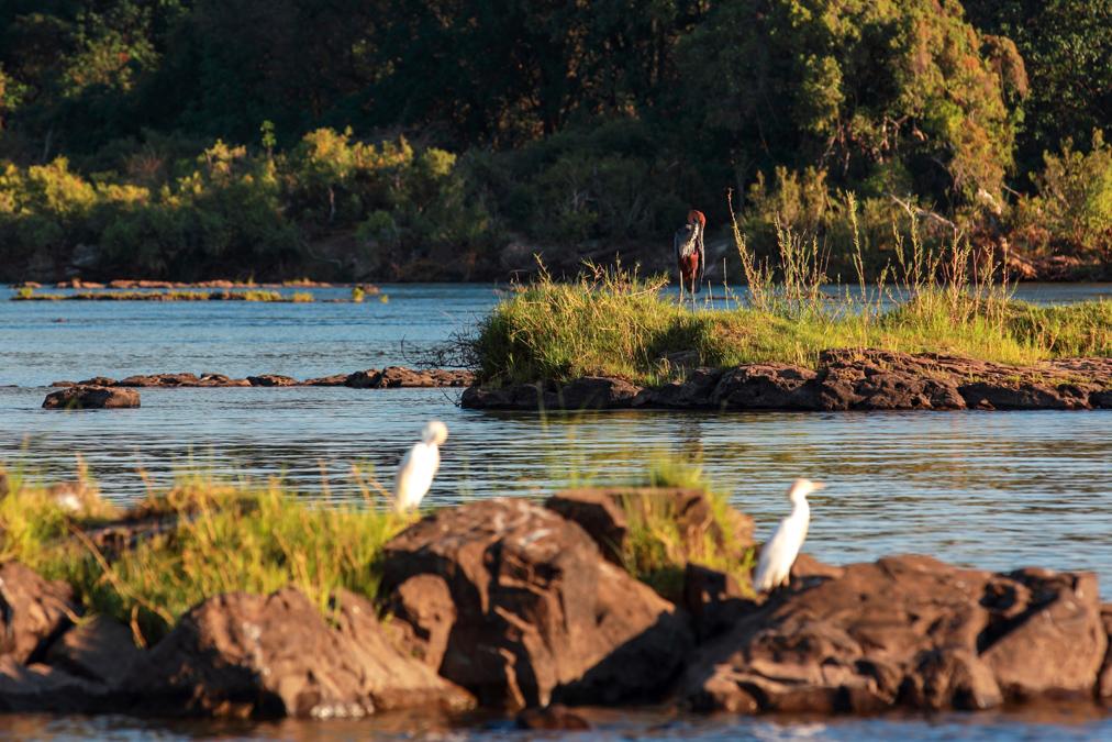 Héron goliath (Ardea goliath) au Zimbabwe