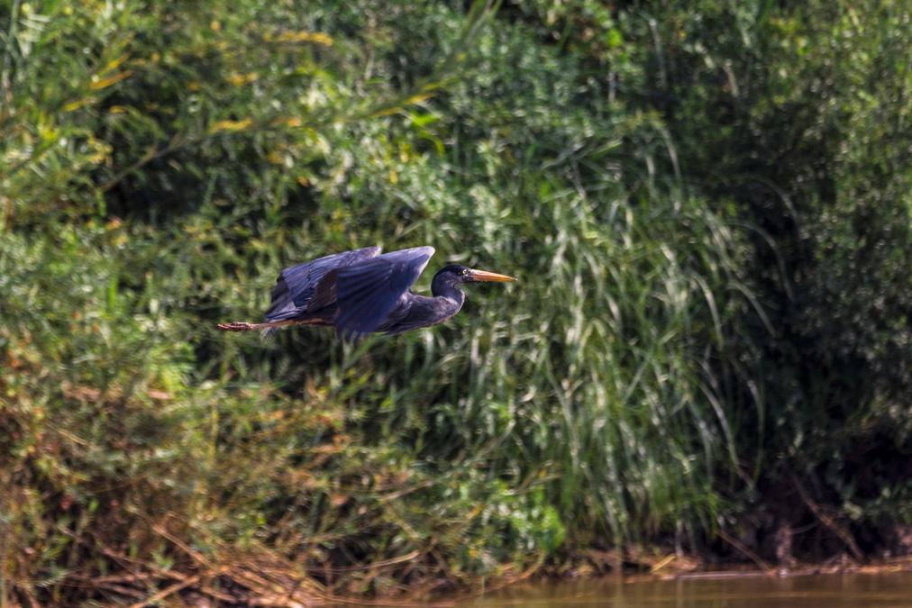 Héron de Humblot (Ardea humbloti) à la Réunion