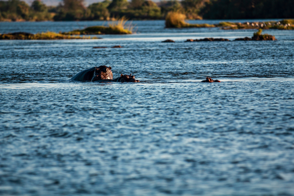 Hippopotame commun (Hippopotamus amphibius) au Zimbabwe