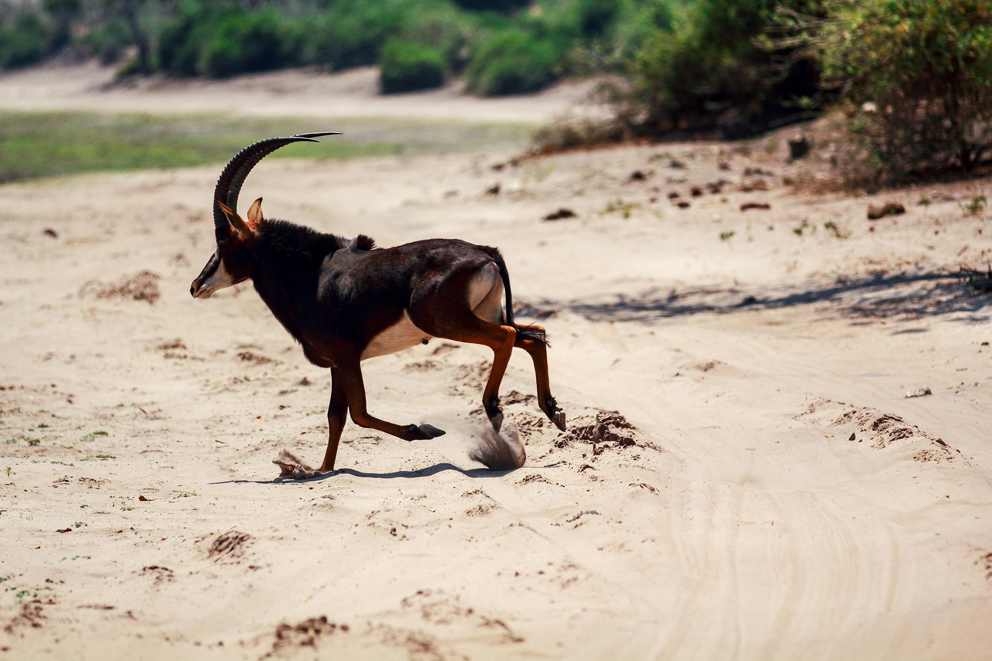 Hippotrague noir (Hippotragus niger) au Botswana par Guillaume Projetti