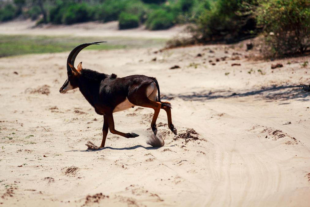 Hippotrague noir (Hippotragus niger) au Botswana