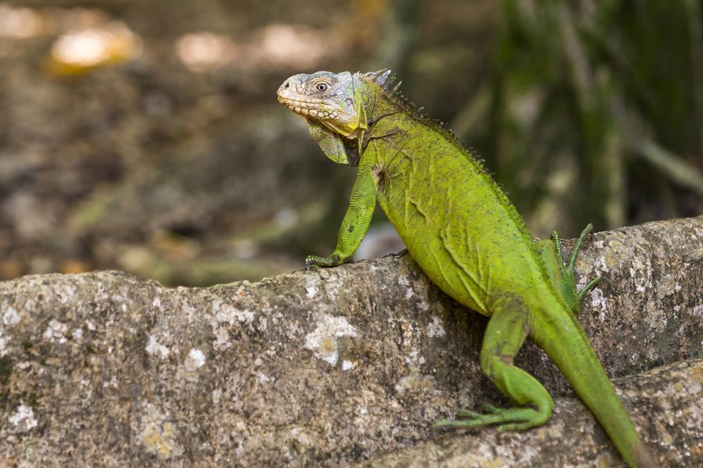 L'Iguane des Petites Antilles (Iguana delicatissima) en Martinique