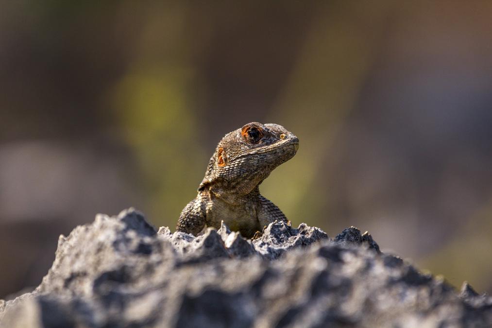 Oplurus cuvieri à Madagascar
