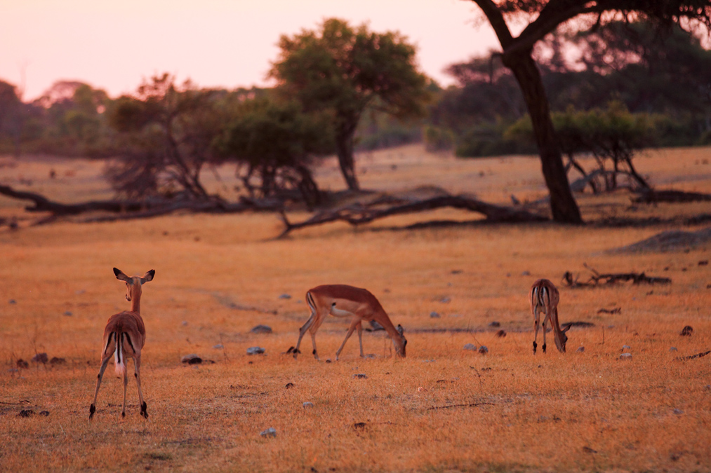 Impala (Aepyceros melampus) au Zimbabwe