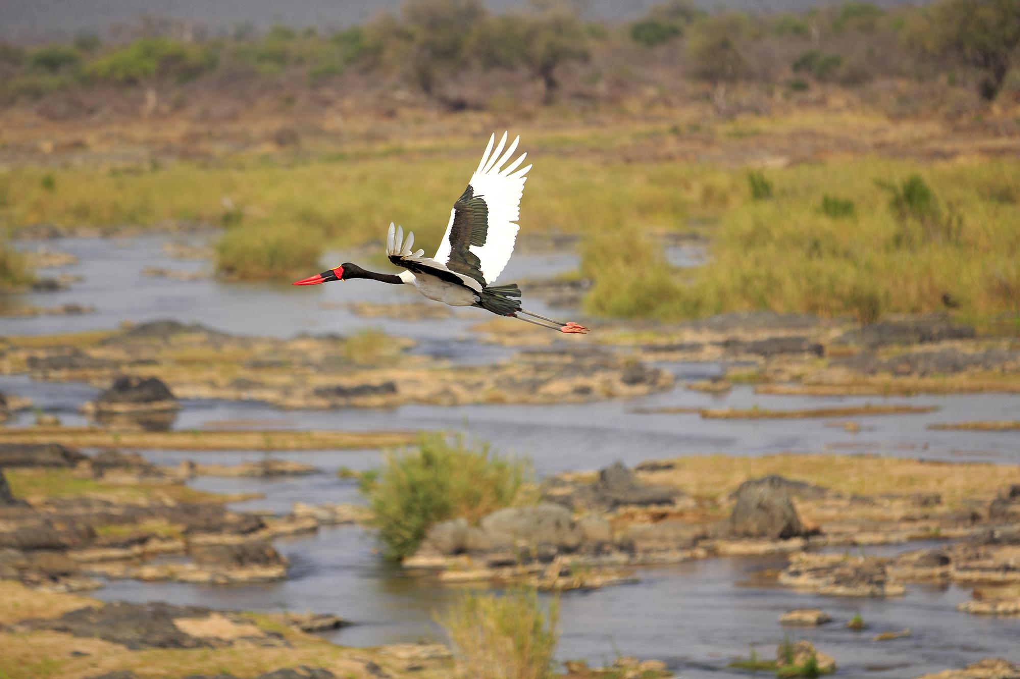 Jabiru d'Afrique (Ephippiorhynchus senegalensis) en Afrique du Sud par Guillaume Projetti