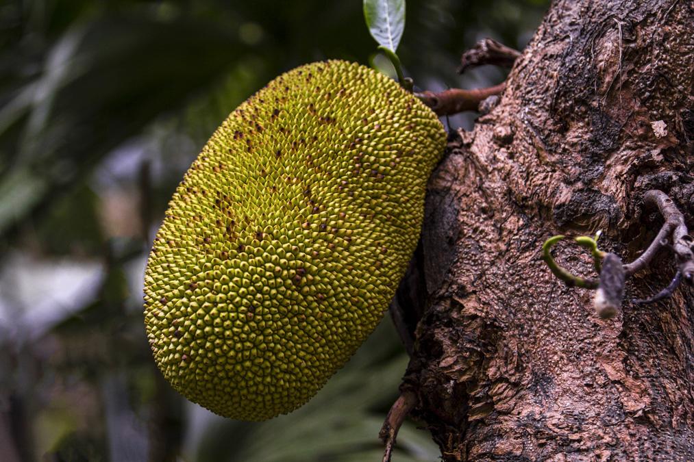 Jacquier (Artocarpus heterophyllus) à la Réunion