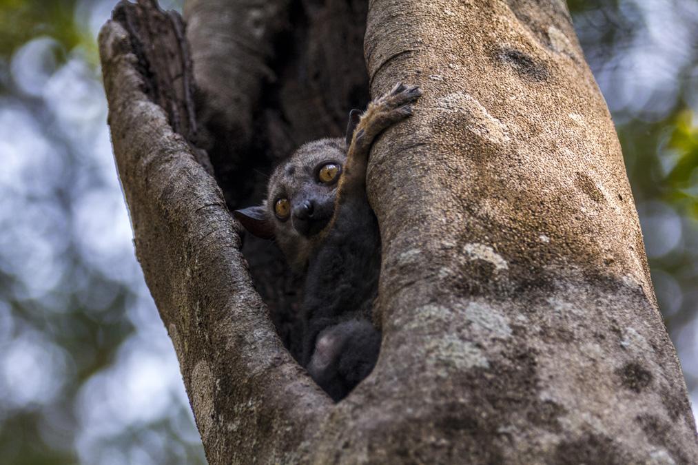 Lémurien de Milne-Edwards (Lepilemur edwardsi) à Madagascar