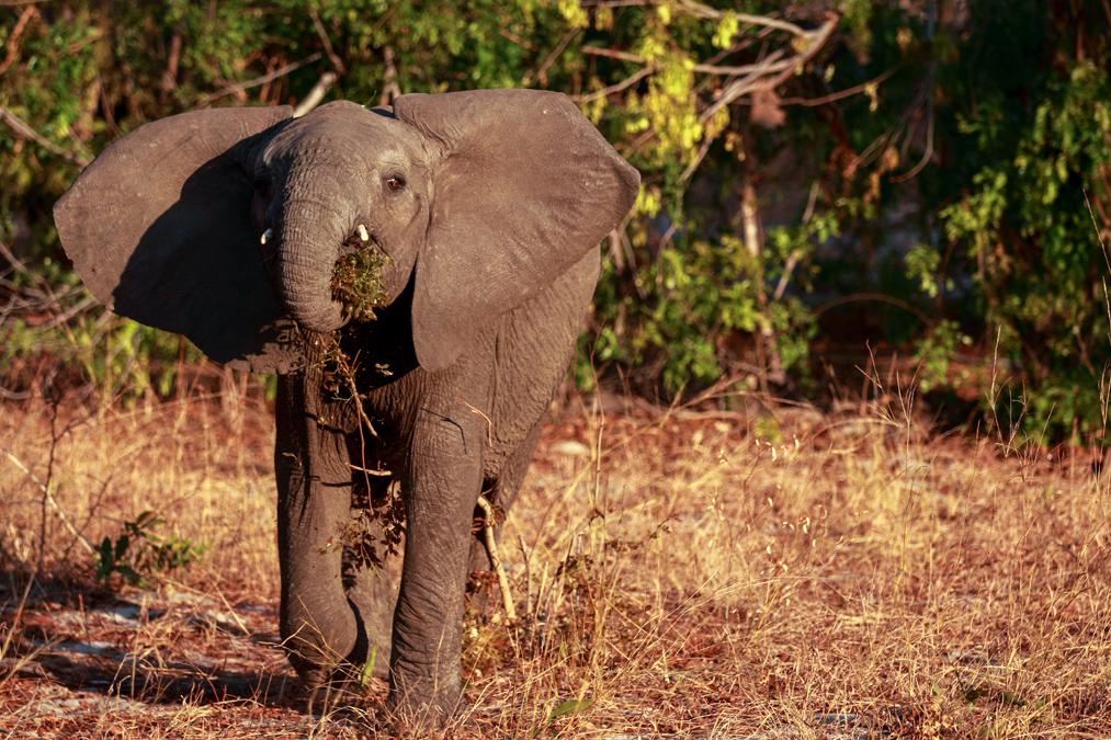 Éléphant de savane d'Afrique (Loxodonta africana) au Zimbabwe