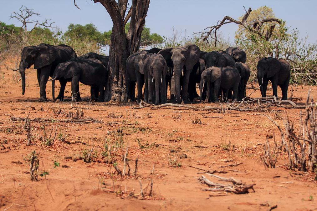 Éléphant de savane d'Afrique (Loxodonta africana) au Botswana