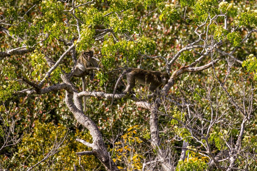 Macaque crabier (Macaca fascicularis) à Maurice