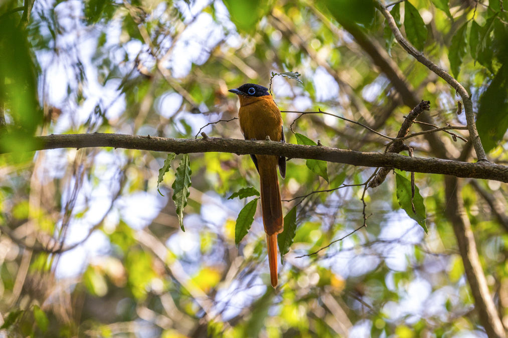 Tchitrec malgache (Terpsiphone mutata) à Madagascar