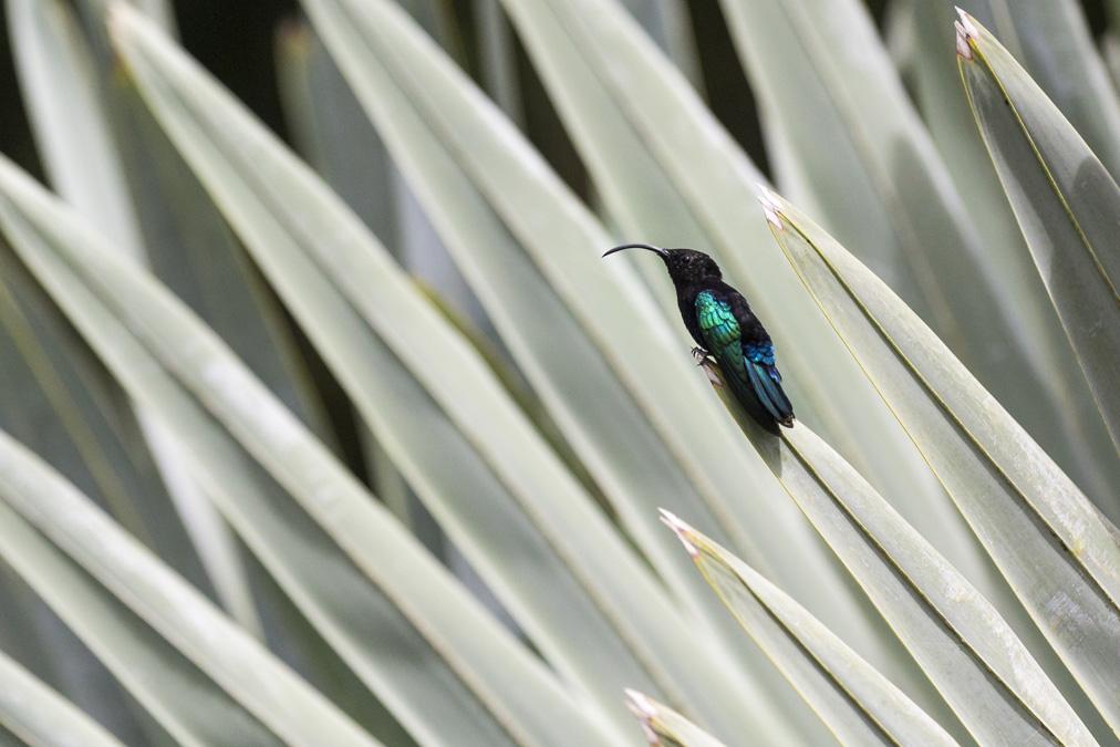 Colibri madère (Eulampis jugularis) en Martinique