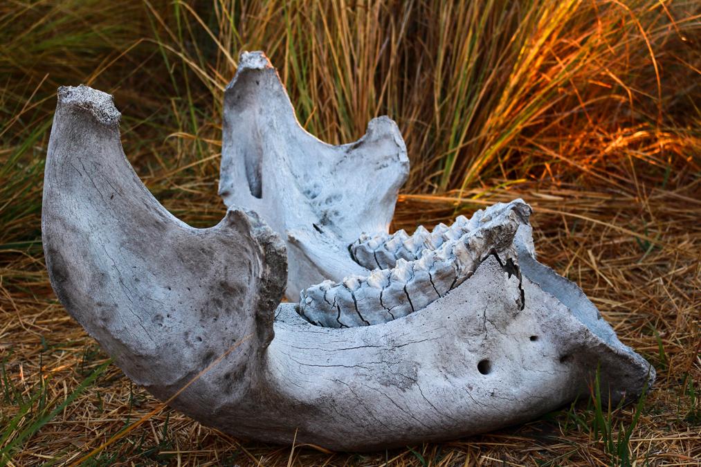 Mandibule d'éléphant au Botswana