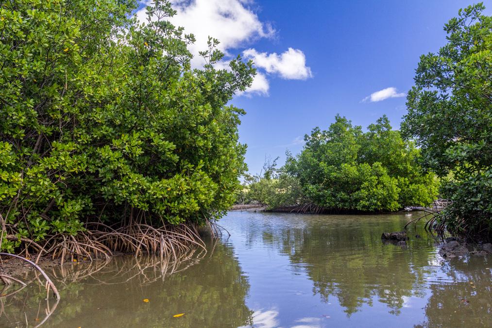 Mangrove de l'étang des Salines en Martinique