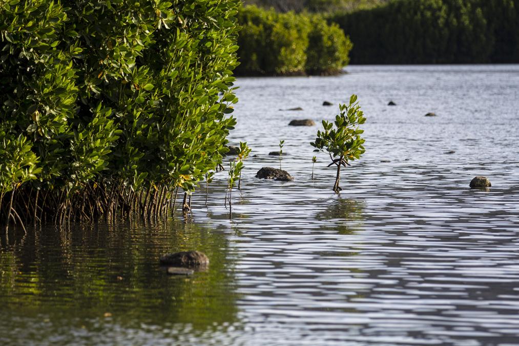 Mangrove à Maurice