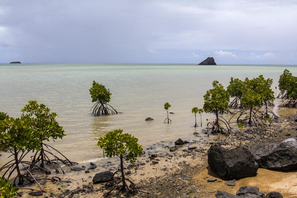 Mangrove à Rodrigues