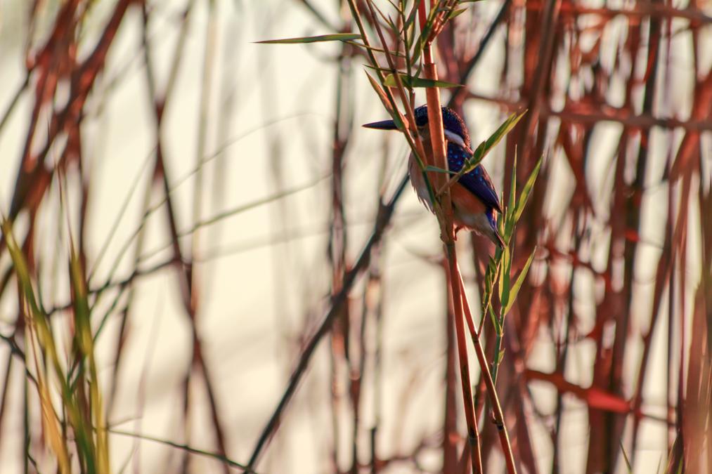 Martin-pêcheur huppé (Corythornis cristatus) au Botswana